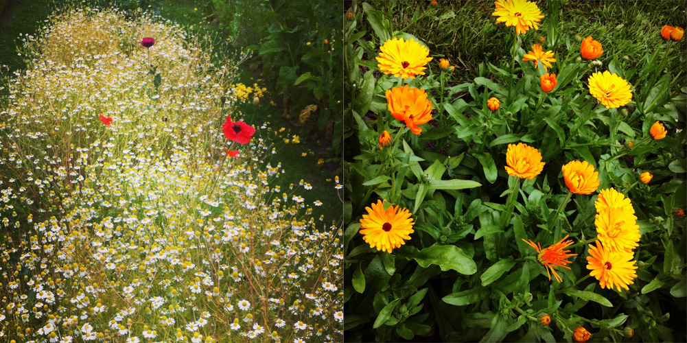 Visit to Weleda's biodynamic herb gardens